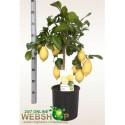 CITR LIMON - RM Plants