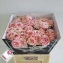R GR ANGIE ROMAN SWE - Wans Roses