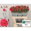 DI SOLOMIO IMRE - Divine Flowers