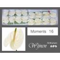 anthurium Moments blanc - Adrichem, J.A.M....