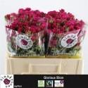 R branchue GLORIOUS - Sian Agriflora