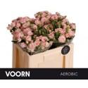 R branchue AEROBIC - Voorn Sprayroses