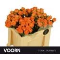 R branchue CORAL BUBBLES - Voorn Sprayroses