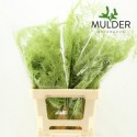 65cm Extra V. Mint vert - JCM Mulder
