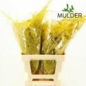 65cm Extra V. Yellow - JCM Mulder