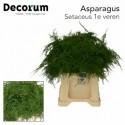 Asparagus Setaceus - van der Valk Groene Sier
