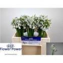 ALLIUM KLEINBLOEMIG - Flower Power