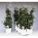 Jasm Polyanthum Wit - Original-plants