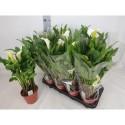 calla siberia blanc - Sq Plant