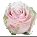 R pink mondial - equateur