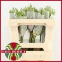 Allium Schubertii - Flores Andalucia BV