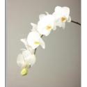 Phal kobe blc blanc - Pulcher Snijcultures