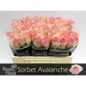R Gr Avalanche Sorb - Rosa Plaza A Q Roses