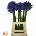 agapanthe donau bleu - Phinna Flowers/IQ...