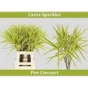 Carex Ph Sparkler - Julia Healing Flowers