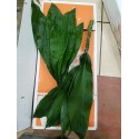 feuillage aspidistra - colombie