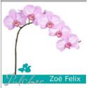 Phal An Zoe Felix - Pulcher Snijcultures
