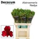 Alstr Nadya rouge - Together 2 Grow