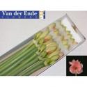 amaryllis Ga Reve - Kwekerij Vd Ende Flowers