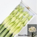 amaryllis Ga Mont Blanc - A.g. Boers