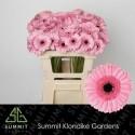 germini Petticoat rose - Klondike Gardens