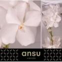 Vanda Kan Ansu No. 1 - Anco