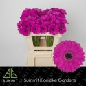 Anna Diamond Karton - Klondike Gardens