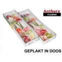 anthurium Mixed - Anthuraflower