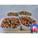 tulipe Columbus - Richard Van Doorn