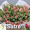tulipe SARTRE - Kwekerij Siem Munster