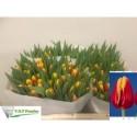 tulipe Denmark - Vof Franico
