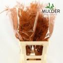 65cm Extra V. Oranje - Jan Mulder