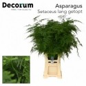 ASPARAGUS SETACEUS - van der Valk Groenesier