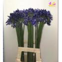 agapanthe bleue - midi