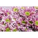 deco Saba rose bicolor - Gommans-Flowers