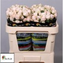 R branchue BOMBASTIC - Flora Ola Ltd.